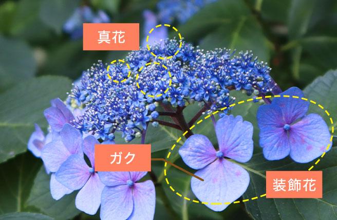 あじさい真花と装飾花